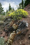 Spotted Saxifrage, Sulphur Buckwheat, Yarrow on rocky cliff