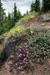 Rock Penstemon, Sulphur Buckwheat on rocky cliff