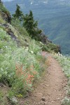 Scarlet Gilia, Yarrow along trail