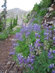 Broadleaf Lupines along trail w/ glacial moraine bkgnd