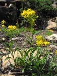 Alpine Goldenrod