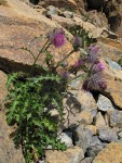 Edible Thistle on serpentine talus