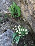 Tufted Saxifrage & Shasta Fern (Lemmon's Hollyfern)