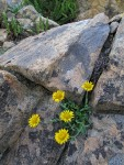 Alpine Gold Daisy