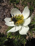 Flower Long-horned Beetle [Pachyta armata] on Western Pasqueflower blossom