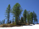Subalpine Larches against blue sky
