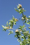 Yellow Willow foliage & mature female aments against blue sky