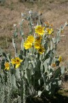 Woolly Mule's Ears