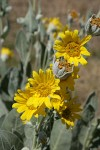 Woolly Mule's Ears blossoms