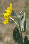 Woolly Mule's Ears blossoms & foliage, side view