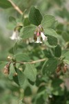 Roundleaf Snowberry blossoms & foliage detail