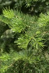 White Fir foliage detail