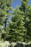 White Fir w/ Ponderosa Pines bkgnd