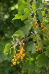 Golden Currant fruit & foliage