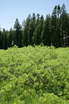 Mountain Willow w/ Shasta Red Firs & Subalpine Firs bkgnd