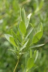 Mountain Willow foliage detail