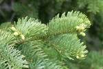 Subalpine Fir foliage detail