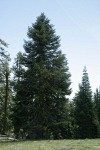 Shasta Red Fir