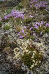 Spotted Saxifrage & Davidson's Penstemon among lichens