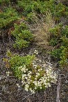 Spotted Saxifrage w/ Common Juniper foliage