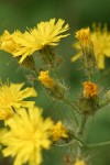 Western Hawkweed blossoms detail