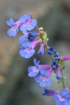 Low Penstemon blossoms