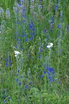 Nuttall's Larkspur among grasses & Yarrow