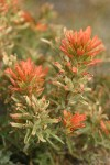 Desert Indian Paintbrush bracts & blossoms