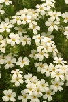 Nuttall's Linanthus blossoms & foliage