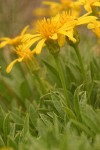 Stemless Goldenweed blossoms & foliage detail