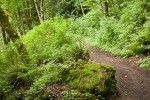 Squires Lake trail w/ moss-covered boulder, Sword Ferns, Alders, Vine Maples, Salmonberries