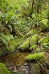 Moss-covered rocks & Sword Ferns by small stream