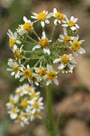 Western Groundsel blossoms