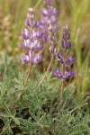 Prairie Lupine blossoms & foliage