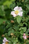 California Rose blossom & foliage
