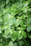 Blackfruit Dogwood foliage