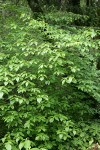 Blackfruit Dogwood