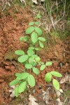Ground Rose foliage