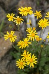 Siskiyou Butterweed blossoms
