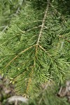 White & Grand Fir hybrid foliage
