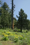 Western Junipers w/ Arrowleaf Balsamroot fgnd
