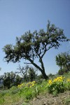 Mountain Mahogany w/ Arrowleaf Balsamroot