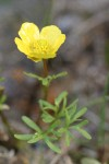 The Dalles Mountain Buttercup (Obscure Buttercup)