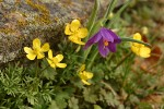 The Dalles Mountain Buttercup (Obscure Buttercup), Grass Widow