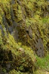 Spring Gold massed on moss-covered cliff