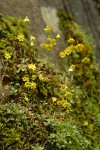 Spring Gold on moss-covered cliff