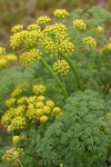 Gray's (Pungent) Desert Parsley blossoms & foliage