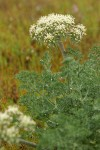 Large-fruited Biscuitroot blossoms & foliage