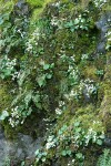 Western Saxifrage among mosses on rocky cliff