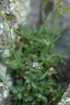 Little-leaf Rockcress
